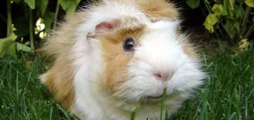 Guinea_pig-Meerschweinchen